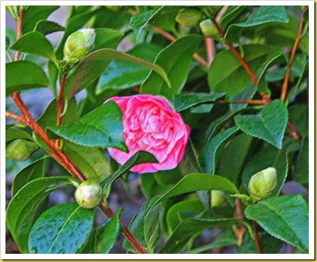 camelliaroughpastel